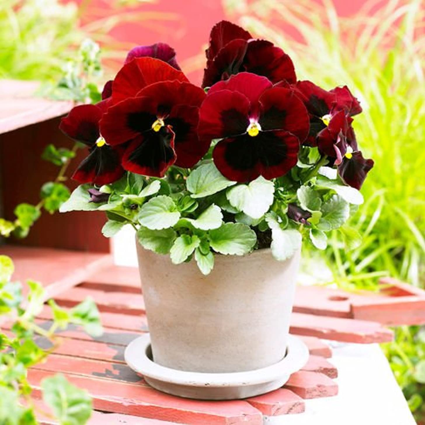 Portal Cool Pansy Red Spot Seed 50 Seeds Viola Tricolor Herb Trinity Flower Garden Seed A088