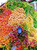 100 pcs/ bag 5 colors Green Boston Ivy Seeds Ivy grass Seed For DIY Home & Garden Outdoor Plants tree Seeds Drop Shipping 4