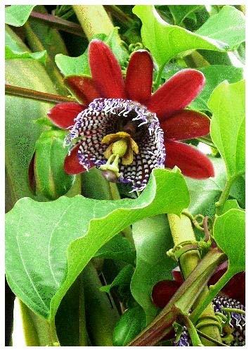 TROPICA - Grenadilla du Roi (Passiflora quadrangularis) - 12 graines- Plantes grimpantes