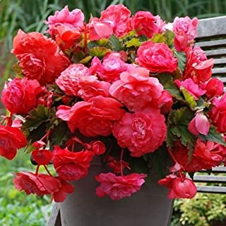 Begonia Bulbs, Pendula Pink (2 Bulbs) One of The Most Popular Plant
