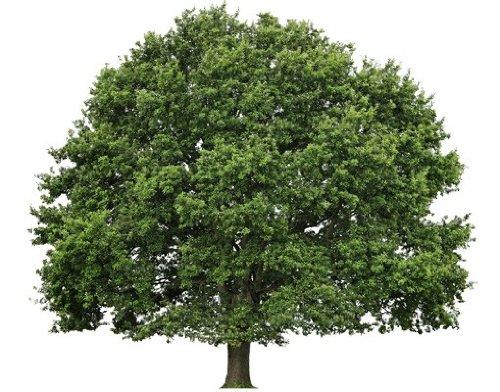 Wandtattoo No.393 Sommerlinde Baum Sommer Linde Pflanze Natur