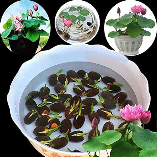 quanjucheer 10 Seerose Samen Seerose Blumensamen Home Balkon Garten Hydroponik Pflanzen Dekoration Seerose
