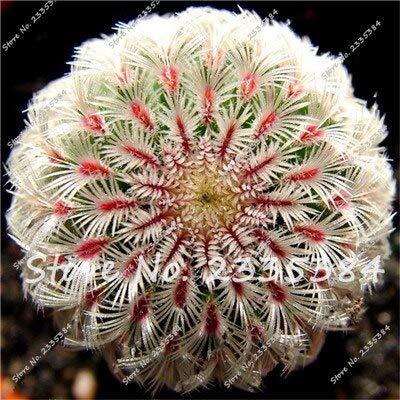 15: Rare Exotic Cactus Seeds Plantes Succulentes Cactus Bleus Pour La Décoration De La Maison Jardin Purifier L'air Et Empêcher Le Rayonnement - 100 Pcs
