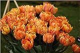 25 Tulip Orange Princess, Tulip Bulbs, Fall Planting,Double Late