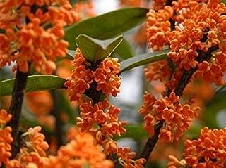 Orange Fragrant Tea Olive - Live Plants - Quart Pot