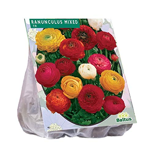 Ranonkel, Mix 15 Stück Ranunkel gemischt Blumenzwiebel