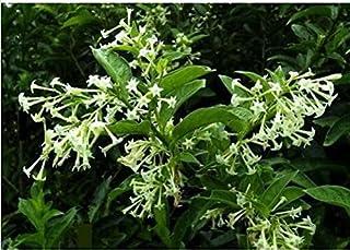 Las semillas de flor de Bonsai de floración de noche jazmín semillas de plantas en maceta Cestrum Nocturnum sombra fragant...