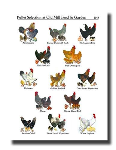 HandTao Chicken Breeds Canvas Wall Art Beautiful Picture Prints Living Room Bedroom...