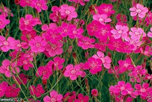 美洲石竹少女粉红'灿烂'(10000花种子)多年生植物