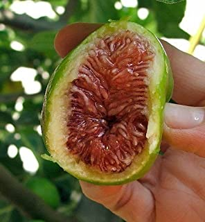 Desert King Edible Fig Live Plant Ficus Carica Sweet 3