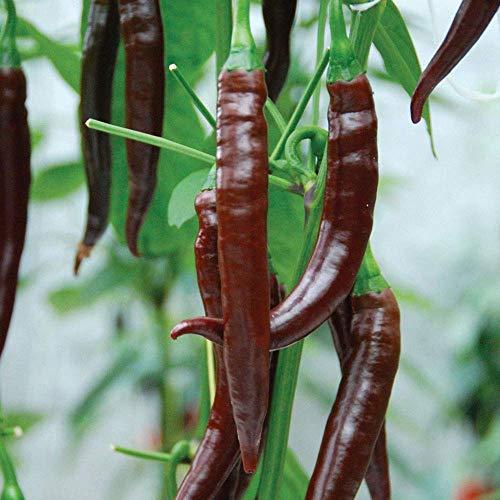 SANHOC Samen-Paket: Pfeffer-Paprika - Cayenne Chocolate - 6 SeedsSEED