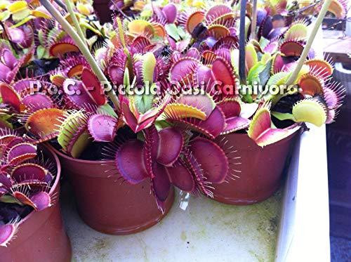 Dionaea muscipula (Carnivora) [Vaso Ø9cm]