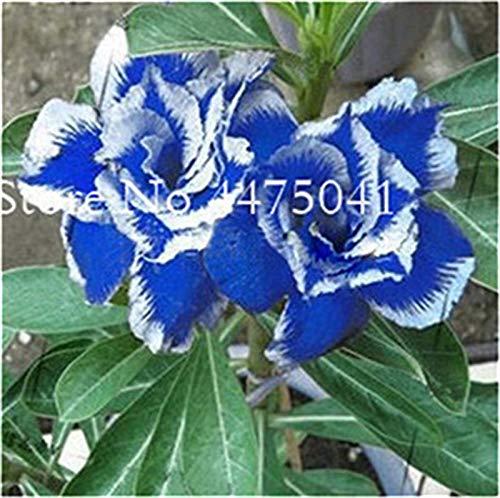 Sump Fresh 1 pcs Desert Rose Adenium Obesum SEMILLAS de flores para plantar Blanco azul