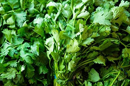 Cilantro Herb Seeds, 500+ Premium Heirloom Seeds, Fresh Cilantro is a Fantastic Addition to Your Home Garden! (Isla