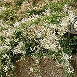 Knöterich - Polygonum aubertii - Schnellwachsende Kletterpflanze