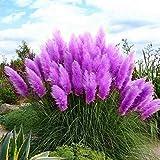 TOMASA Seedhouse- Raras semillas de césped ornamentales de hierba pampeana americana,...