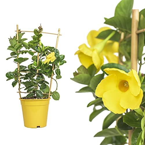 1x Dipladenia Mandevilla/Chilenischer Jasmin - GELB - in tollen unterschiedlichen bunten Farben - circa 50 bis 60cm / bunt blühende Kletterpflanze - Pflegeleicht