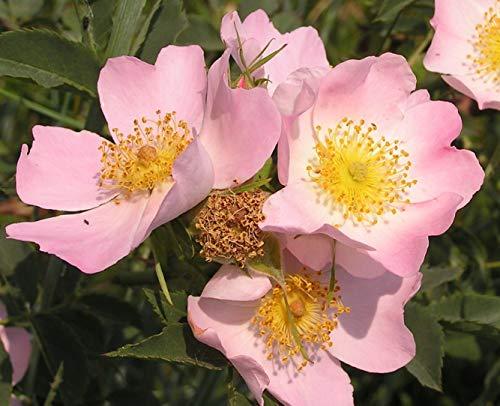 Potseed 1000 de semilla de té de Rosa mosqueta Reales
