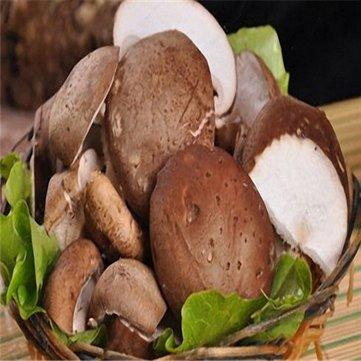 Générique Generic Orangic Mushroom Seeds Ferme à Effet de Serre Plantation de Plantes succulentes Graines - 2-50Pcs / Pack