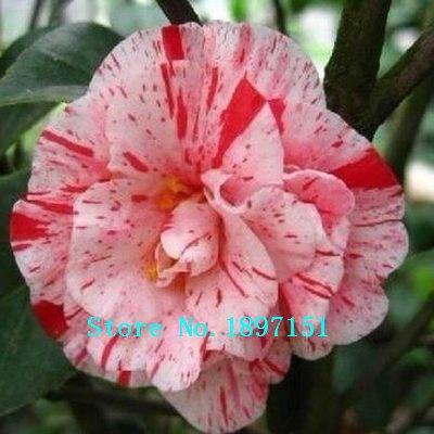 vente Big Livraison gratuite, Allemagne bonsaï miniature camélia graines 50 par paquet, la cueillette des graines de fleurs de plantes