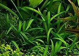 piante acquatiche Freccia Nano/Sagittaria subulata Pusilla