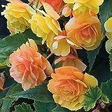 begonia - semi di fiori, 50 pezzi, bellissimi semi di begonia per la casa, il giardino, il cortile in vaso, decorazione bonsai