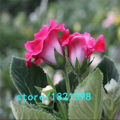 Gloxinia Graines (Mélange) Pot de fleurs Pots de fleurs jardin bonsaï de fleurs 100 particules/Lot As Show in Description violet