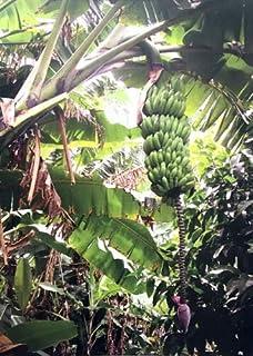 Snow Banana 10 Quality Seeds Ensete glaucum