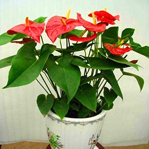 graines chaudes anthurium, livraison gratuite à bas prix, graines de anthurium Bonsai balcon fleurs, graines de fleurs en pot Anthurium - 200pcs