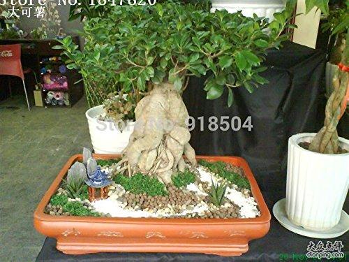 50pcs AAA 2016 Rare Véritable Ficus Ginseng graines 22kinds mélange emballer les graines Ginseng Herbes graines d'arbres Banyan Livraison gratuite