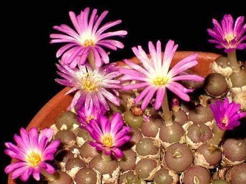Thronesfarm_ cheap Bargain Conophytum brunneum Rare mesemb Succulents Exotic