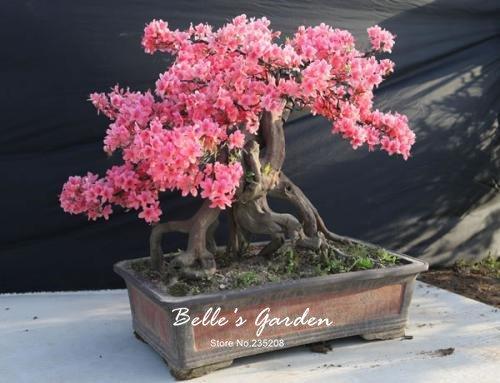 100 pcs / sac Variétés graines Azalea, belle plante de fleurs Accueil Jardin Fleurs en pot semences intérieur Graines Bonsai 5