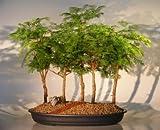 Bonsai Boy's Dawn Redwood Bonsai Tree - 5 Tree Forest Group metasequoia glypt...