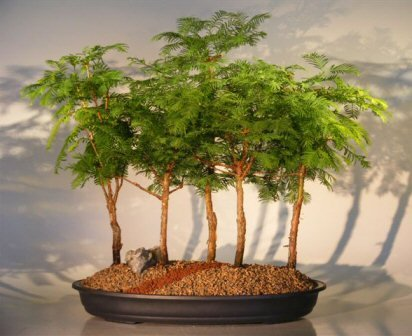 Bonsai Boy's Dawn Redwood Bonsai Tree - 5 Tree Forest Group metasequoia glypt...