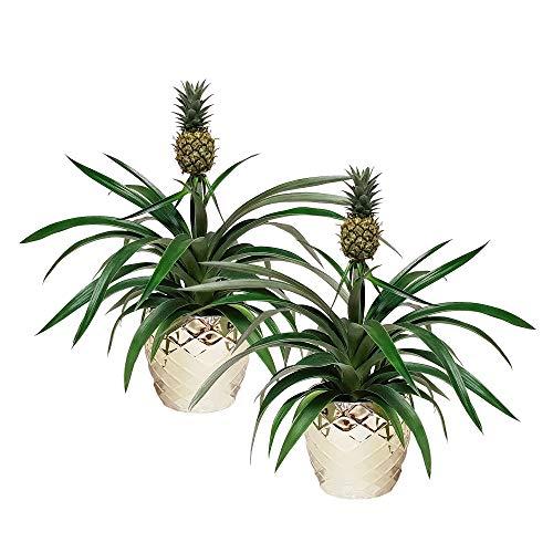 Breasy® - Planta de piña bromelia en maceta 'Royal Crown' - 2 piezas