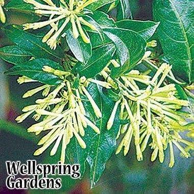 Cestrum nocturnum Night Blooming Jasmine LIVE PLANT Queen of the Night, Night blooming Jessamine, Raat ki Rani