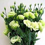 Grüne Eustoma Lisianthus-Blumensamen 20 Stück (Eustoma grandiflorum) Bio-Premium-Lisianthus-Blumensamen zum Pflanzen von Garten-Innenhöfen
