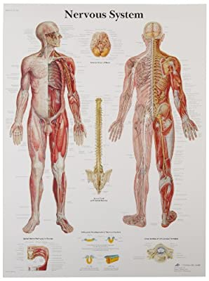 3B Scientific Human Anatomy - Nervous System Chart, Paper Version from 3B Scientific
