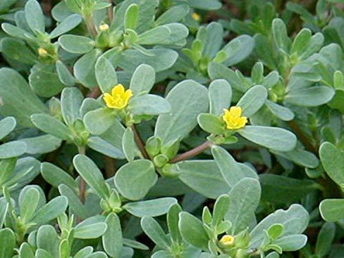 Gemüse-Portulak - Portulaca oleracea sativa - Salat - 1000 Samen