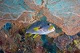 Posterazzi Sweetlip fish sea fan coral Poster...