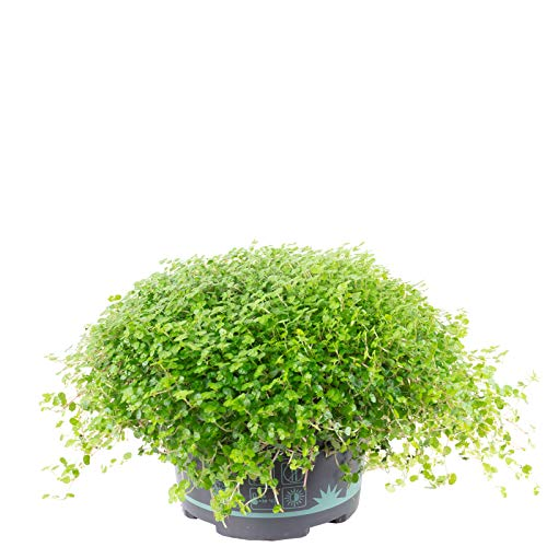 Bubikopf grün - Soleirolia soleirolii - Höhe ca. 20 cm, Topf-Ø 13 cm
