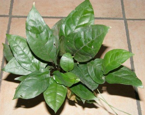 Mühlan Wasserpflanzen 1 Topf Anubia gigantea, Riesenspeerblatt