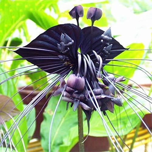 TENGGO Egrow 100 Teile/Beutel Schwarz Tiger Shall Orchid Seeds Mehrere Sorten Orchidee Blumen Samen für Garten