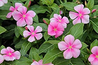 Vinca Cooler ICY Pink Annual 50 Seeds #PG02
