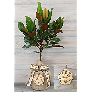 Southern Magnolia Pet Sympathy Gift Tree with Personalized Keepsake by The Magnolia Company – Get Beautiful and Fragrant Flowers on a Lush Green Canopy with The Magnolia Tree Pet Sympathy Gift