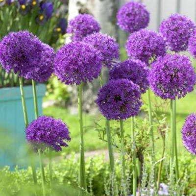 5X Allium Purple Sensation Bulbs Beautiful Garden Patio Spring Flowering Bulbs Ready for Planting...