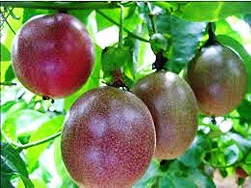 Passion Fruit 'Possum Purple' Price Includes Four (4) Plants