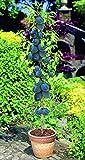 Qulista Samenhaus - 100pca Selten Säulen-Pflaume 'Black Amber' Obstsamen Obstbaum mehrjährig winterhart feinaromatisch saftig für Balkon, Terrasse & Garten
