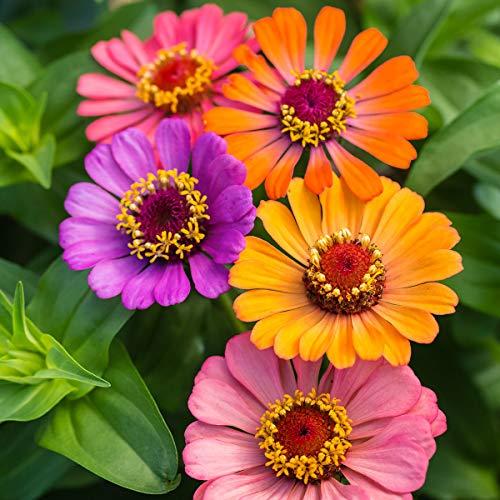 Qulista Samenhaus - Rarität 50pcs Zinniensamen Forecast-Mischung bunt Regen- sowie hitzefest Blumensamen winterhart mehrjärhig, Ideal für Beete, Schnitt und Rabatten