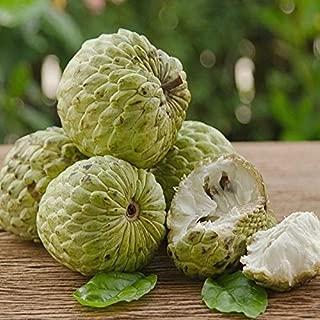 HOT !! - 12 Sugar Apple Seeds, Custard Apple, Annona Squamosa